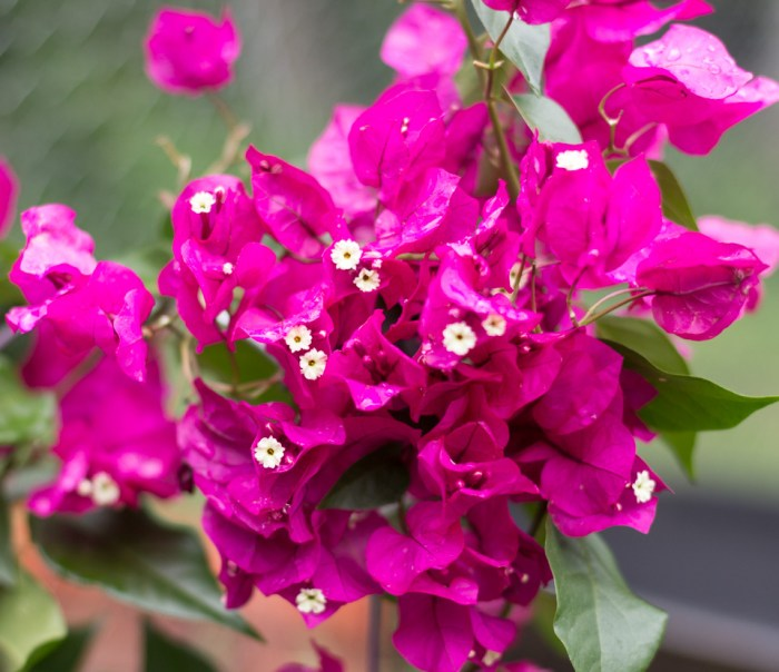 Favorite Flowering Vines for Your Garden