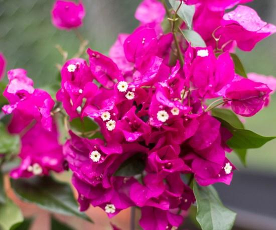 Favorite Flowering Vines for Your Garden | angiethefreckledrose.com