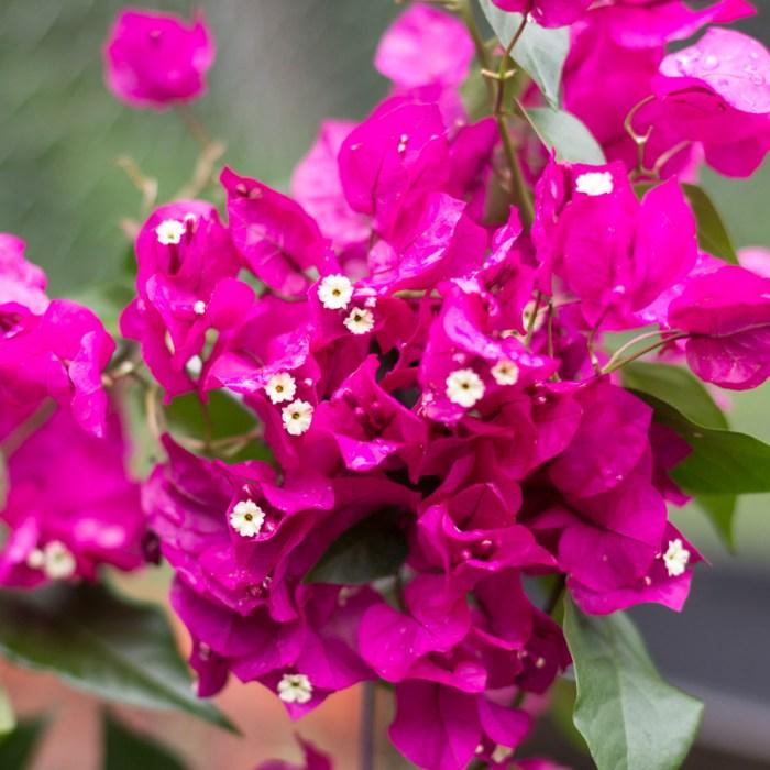 Favorite Flowering Vines for Your Garden