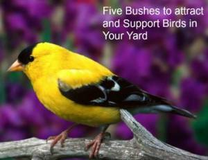 Five Bushes to Attract and Support Birds in Your Yard - Homemade Food Junkie