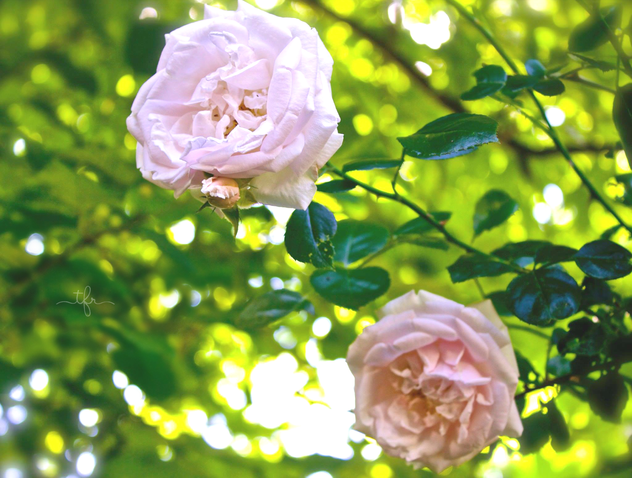 Climbing Roses Really Know How To Put On A Show. I Canu0027t Help