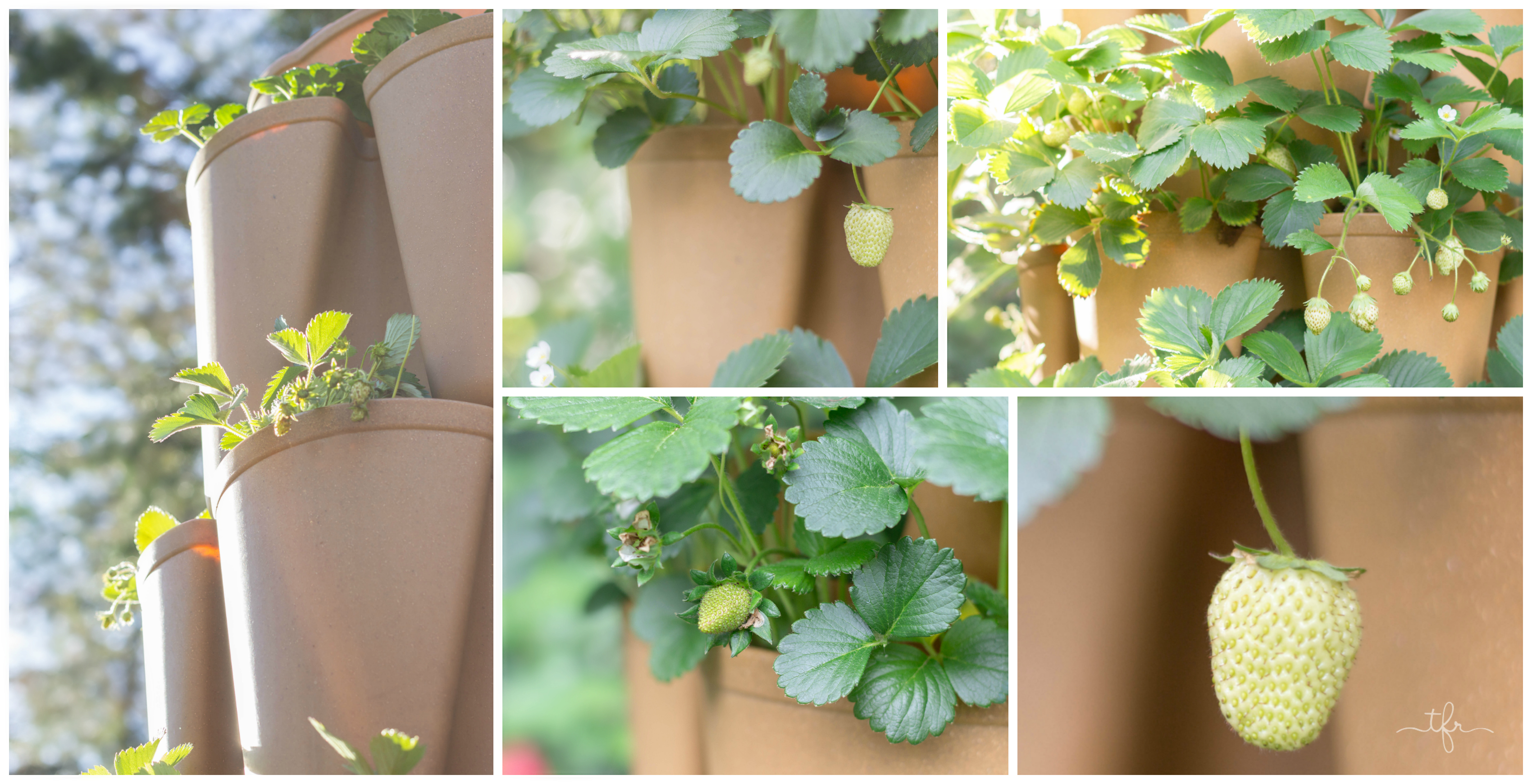 Strawberries growing in my GreenStalk Garden last year. A Simple Guide to Growing Strawberries | angiethefreckledrose.com