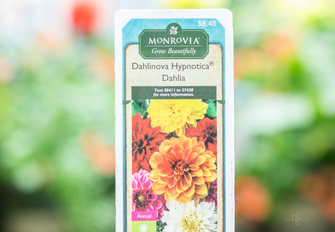 Dahlinova Hypnotica Dahlias This annual plant boasts profuse and colorful blooms. Dahlias are actually one of my favorite flowers. I look forward to them every year! They come in a wide variety of colors and have very large, lavish flowers that will knock your socks right off. You can feature them in a border, container or cutting garden. They attract butterflies and bloom all season long.