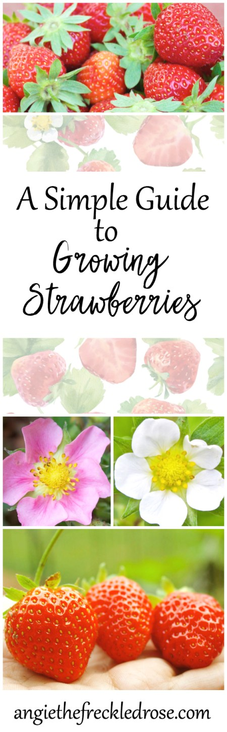 When I first started gardening, I couldn't wait to try growing strawberries! These red berries are jam-packed full of vitamins, fiber and antioxidants. I can never resist a bite of a plump, juicy and sweet strawberry. A Simple Guide To Growing Strawberries | Angie The Freckled Rose