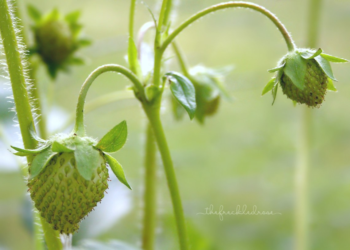 Strawberries ripening in the early morning hours. A Simple Guide to Growing Strawberries | angiethefreckledrose.com