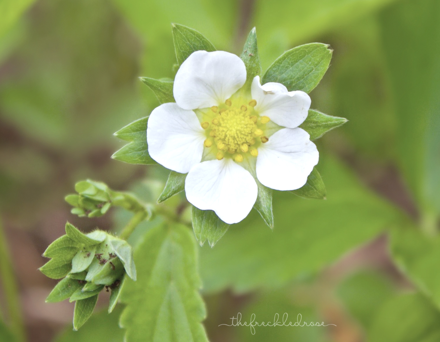 A strawberry blossom. A Simple Guide to Growing Strawberries | Angie The Freckled Rose