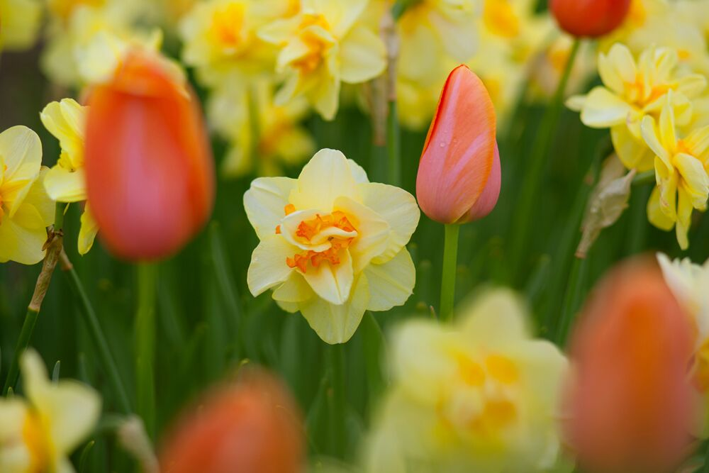 Now, it's time for the wait! By the time next spring arrives, you will be so glad you planted some bulbs. It's so rewarding to see your hard work from last season pay off. 'Tahiti' daffodils mixed with 'Dordogne' tulips