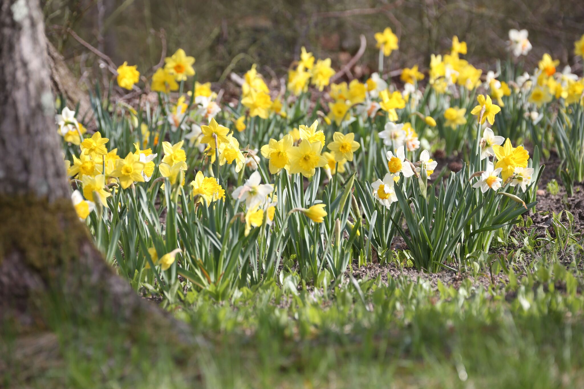 "A naturalized mix of daffodils There are hundreds of different species of narcissus to choose from in different shapes, sizes and colors. There are officially 13 different classifications of daffodils according to the American Daffodil Society. They are such an easy and dependable flower to grow. Even those self professed ""black thumbs"" can grow them with ease."
