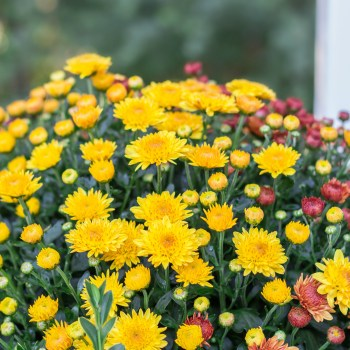 Five Fall Blooming Plants for Your Garden   angiethefreckledrose.com