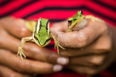 frogs-rainy-season
