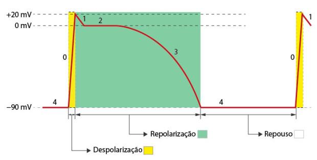 Fases do potencial de acção de uma célula muscular cardíaca