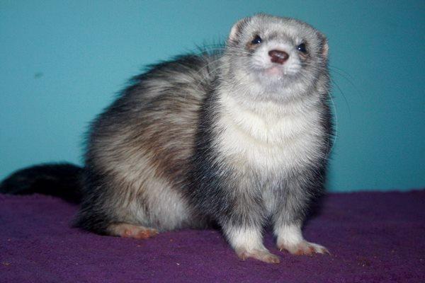 Image result for Sable Ferrets?