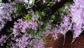 Dendrobium keriting