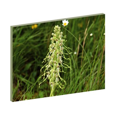 Bocksriemenzunge, Schweizer Orchideen, Pflanzen-Wandbilder, Blumen Wandbilder, Natur, Energiebild