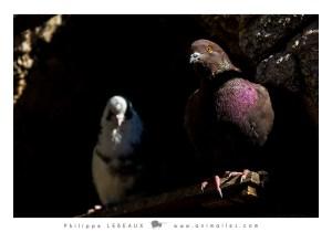 Les pigeons prennent le frais