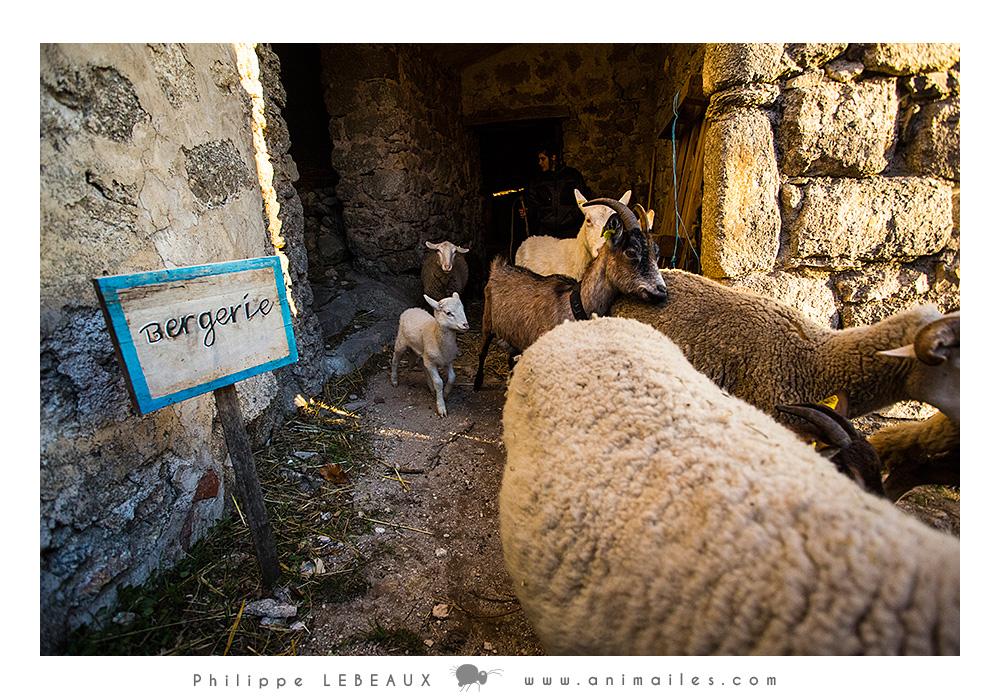 Les brebis et chèvres sortent de la bergerie pour rejoindre le parc.