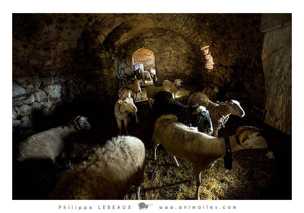 Dans la bergerie avec les chèvres et les moutons.