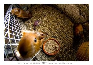 Les cochons d'indes gardiens du clapier