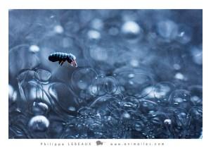 Collembole Podura aquatica