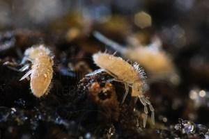 Collemboles Sinella curviseta photographiés en hiver