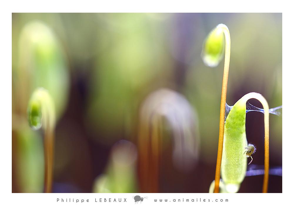 Collembole sur inflorescence de mousse