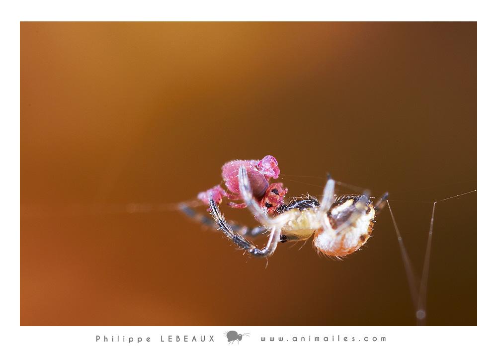 Arachnide ayant capturée dans sa toile des collemboles Sminthurides parvulus