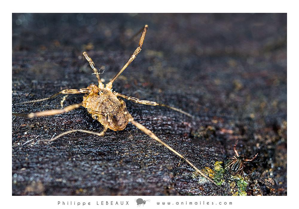 Opilion sp. et pseudoscorpion