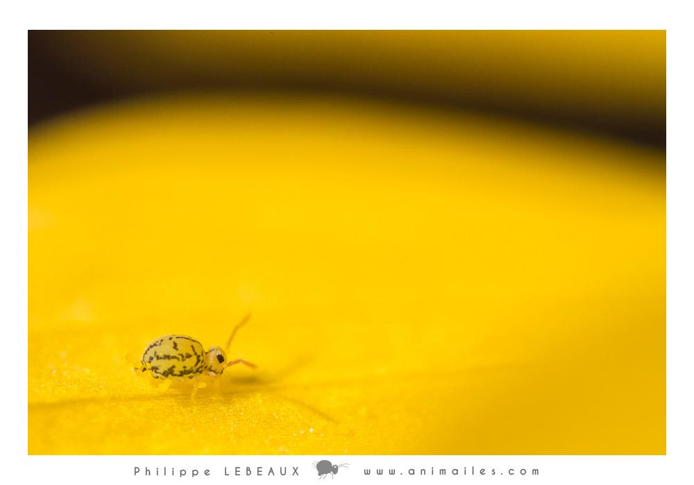Collembola Fasciosminthurus dictyostigmatus