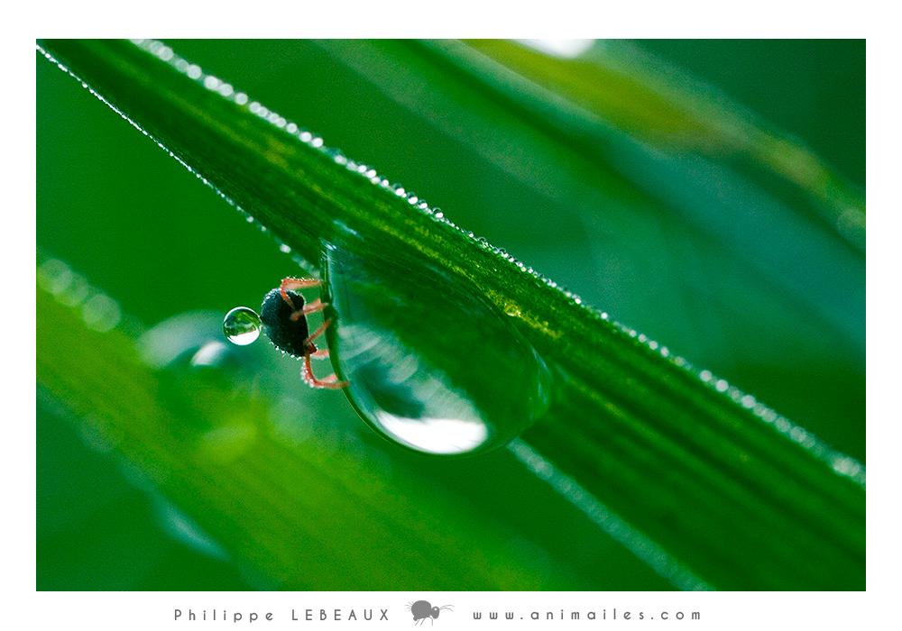 Acarien sp. et gouttes d'eau