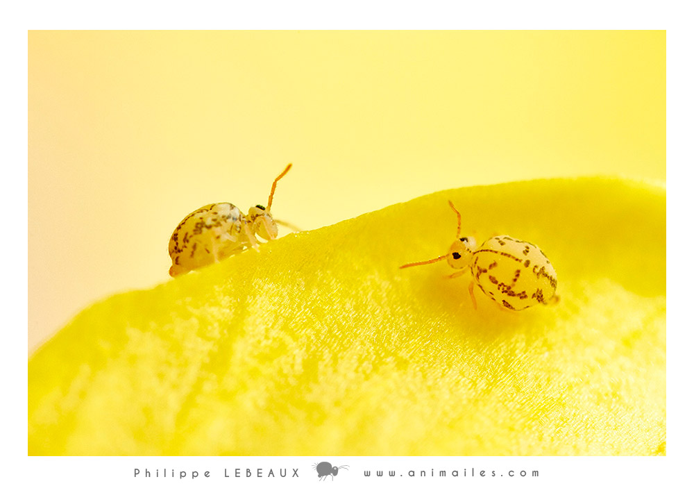 collembola Fasciosminthurus dictyostigmatus sur fleur de lin campanulé