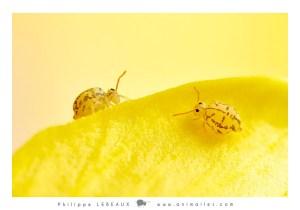 collembole Fasciosminthurus dictyostigmatus sur fleur de lin campanulé