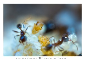 Transport de larves genre Myrmica sp.