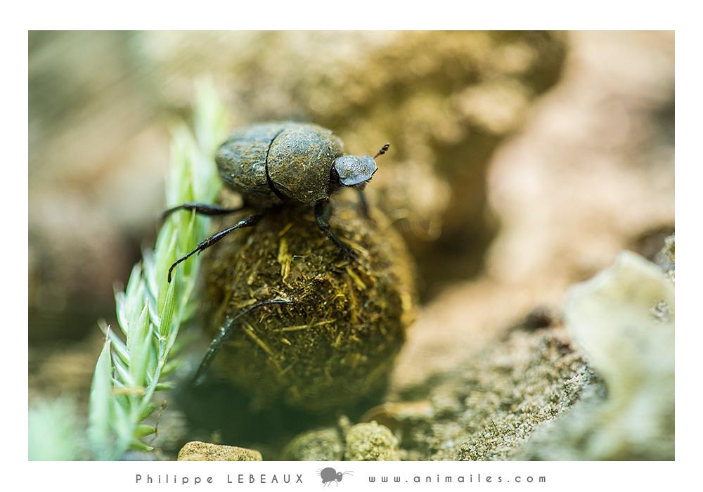 Coléoptères coprophages : Le bousier