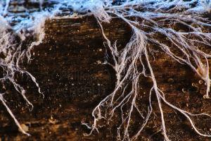 Mycélium avec ses ramifications