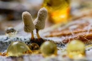 Myxomycètes photographiés avec des gouttes d'eau sur substrat