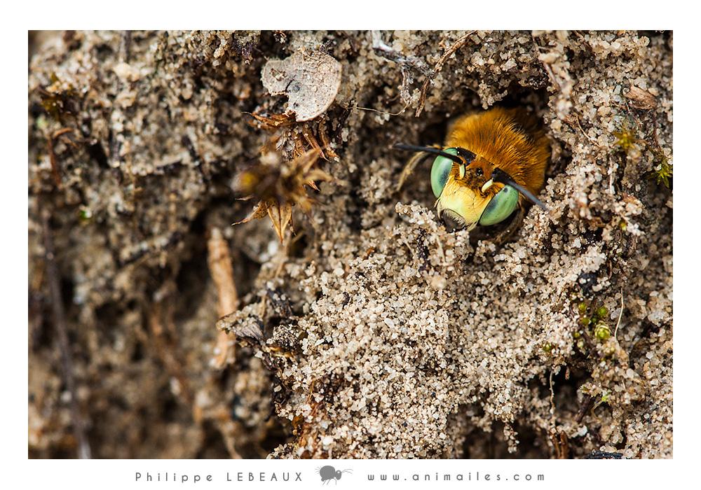 Hyménoptères : Andrène sp.