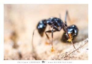 Solenopsis sp. accrochée à une patte d'une Camponotus sp.