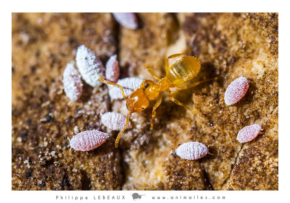 Larves d'insectes et Lasisus sp.