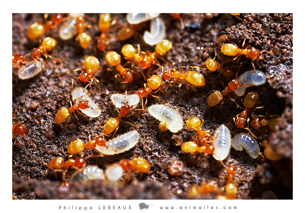 Lasius flavus transportant des larves