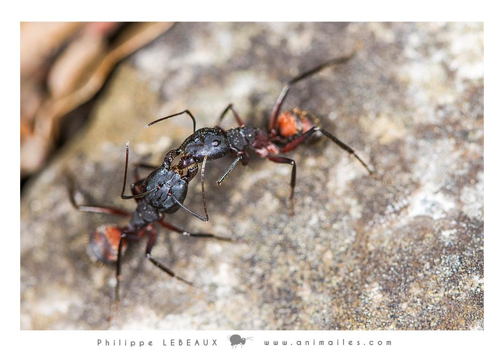 Trophalaxie Camponotus cruentatus