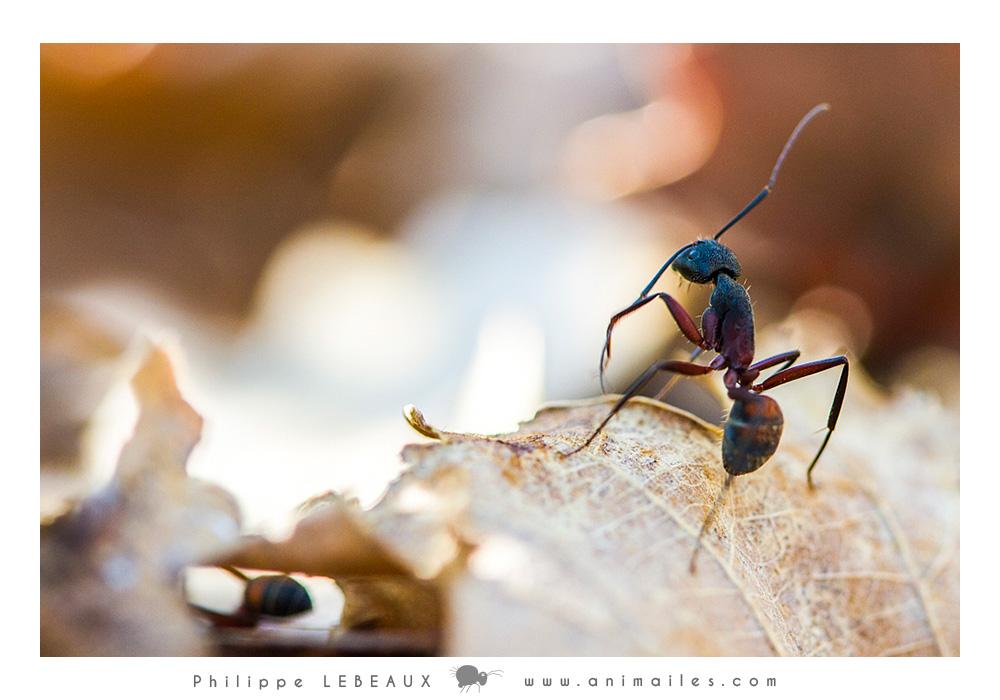 Camponotus cruentatus se nettoyant une antenne