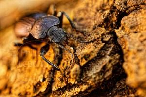 Carabe sp. sur la litière du sol