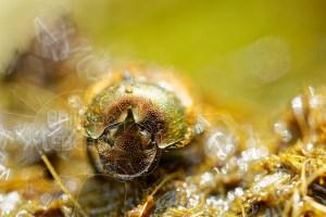 coléoptère coprophage sur excréments d'animaux
