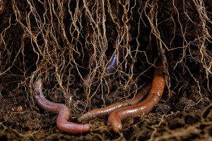 Vers de terre et racines