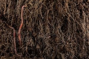 Vers de terre et racines du sol