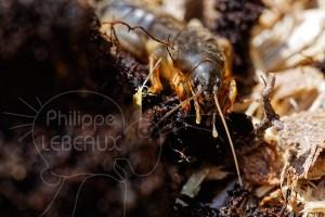 Gryllotalpa gryllotalpa, la courtilière commune