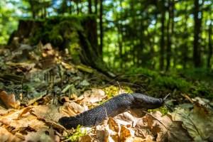 Limace noire photographiée sur sol forestier
