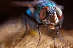 Gros plan sur une mouche Lucilia sp.