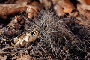 Squelette de campagnol