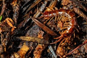 La lithobie à pinces sur la litière du sol
